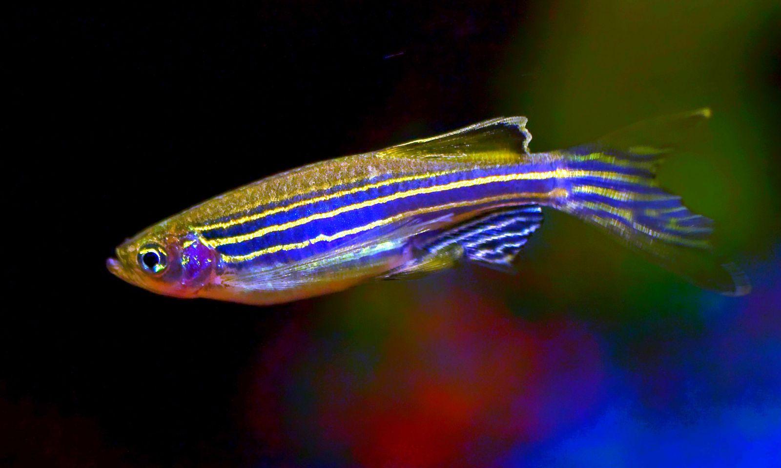 pez-cebra2